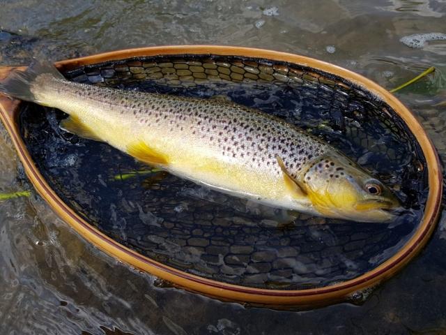 Trout in wooden net Poprad River