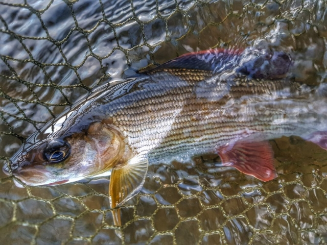 Grayling in the net - catch and release