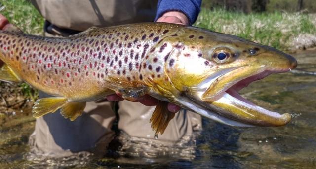Spring fishing brings big boy Brown Trout - fishing trip Poland