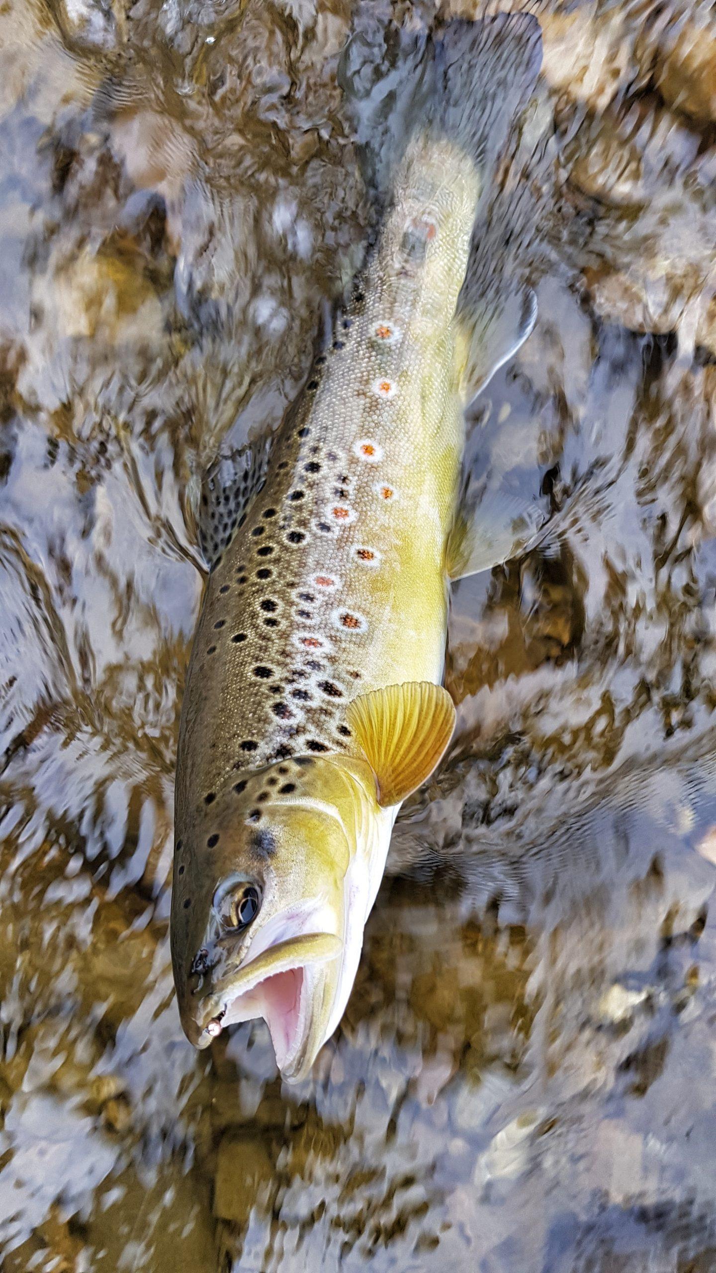 Perdigon nymph for Brown Trout - Poland Bialka River