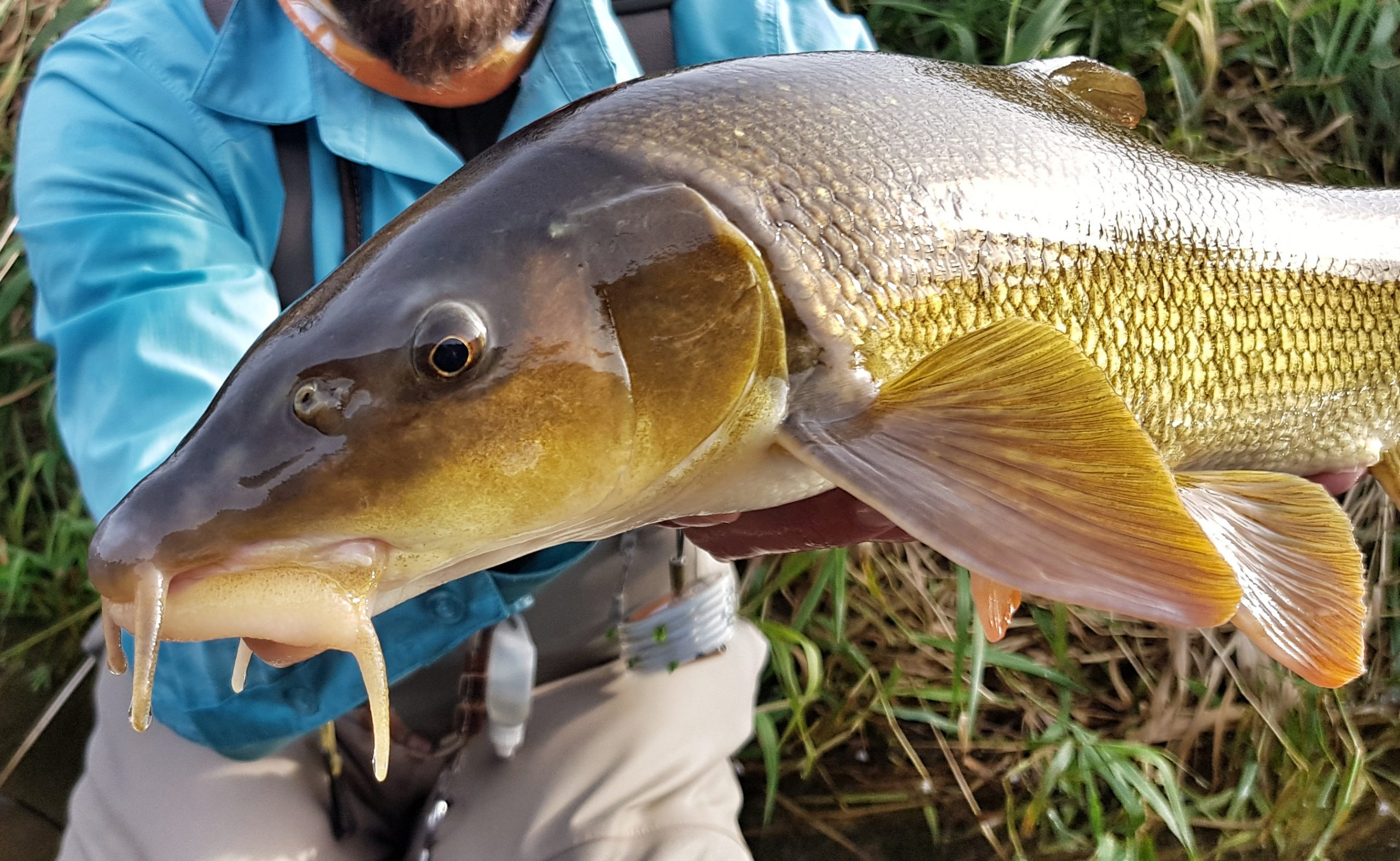 Another barbel cought in Poprad River fly fishing trip