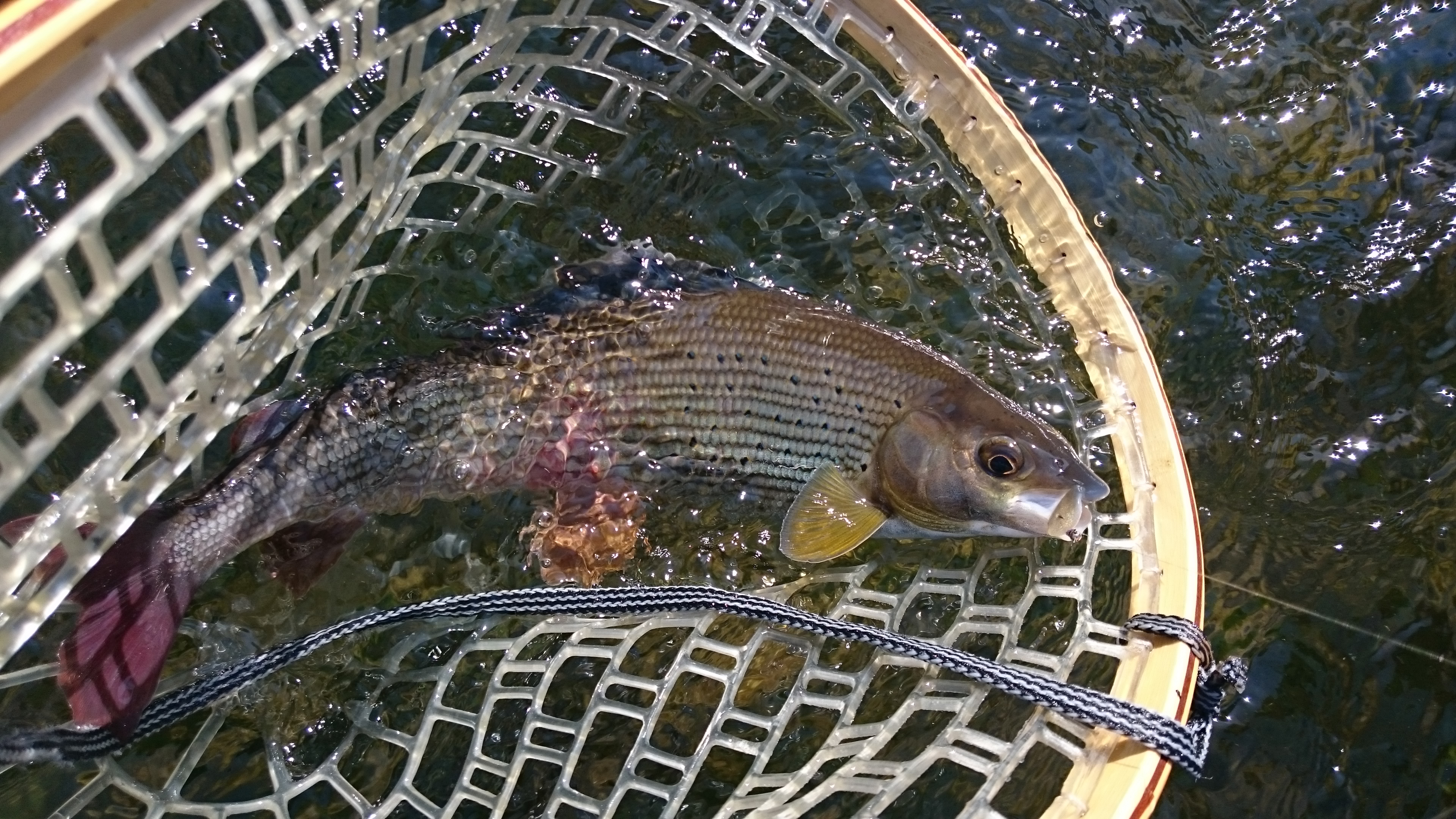 Cheap fly fishing trips Europe - grayling