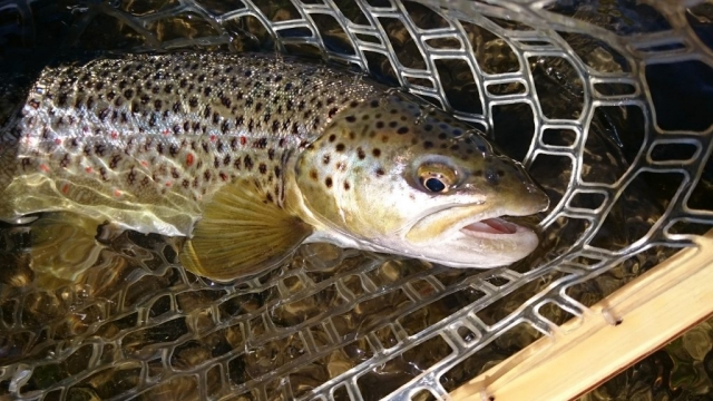 Nice fishing trips Europe - the best guides  Brown Trout