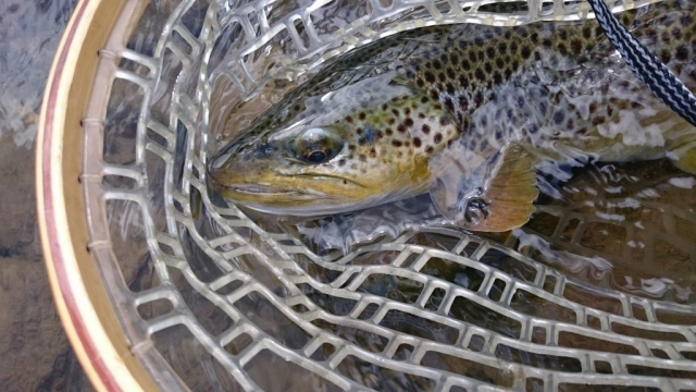 Wild trout from Bialka River - Tatry Mountains