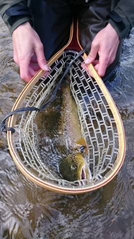 Catch and release brown trout - mountain river