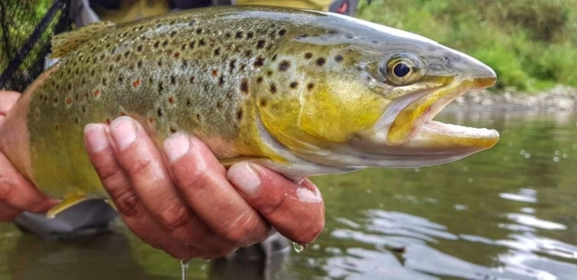 Dry fly fishing for trout - Dunajec River - Poland