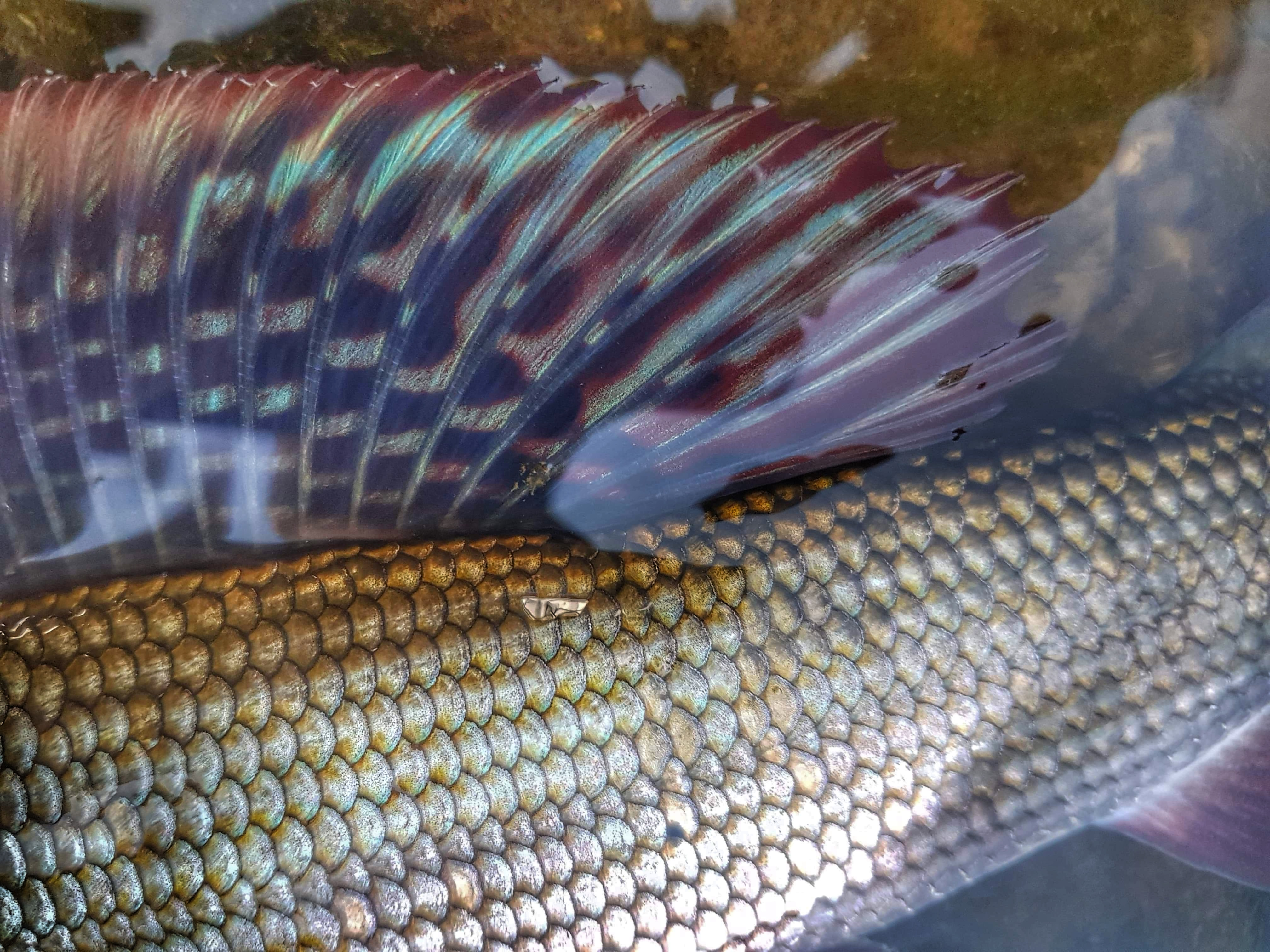 Stunning colours of grayling - Dunajec - fly fishing in Poland